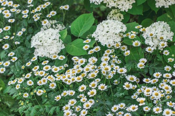 Белый цветник