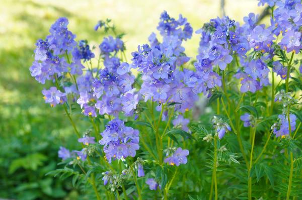 Синюха — синеокая красавица