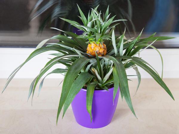 Ананас можно вырастить на подоконнике в обычном цветочном горшке