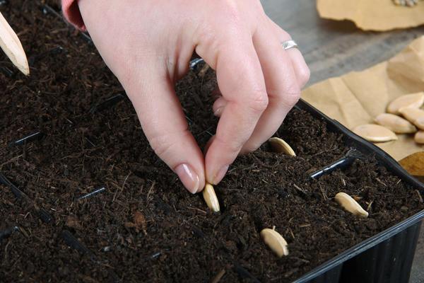 Грунт для сортовых и гибридных семян должен быть разным