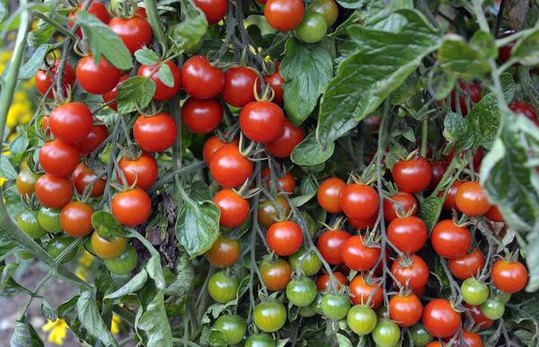 """Черри - томаты-""""вишенки"""""""