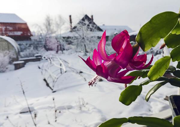 Как зимой перевозить цветущие комнатные растения?