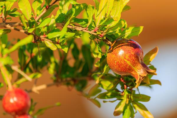 Как правило, в горшечной культуре выращивают карликовый гранат