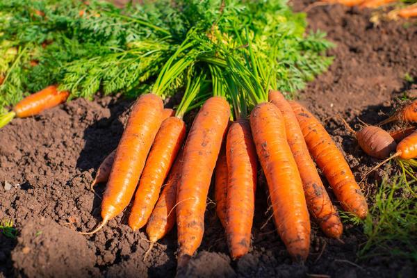 Как вырастить сладкую морковь?