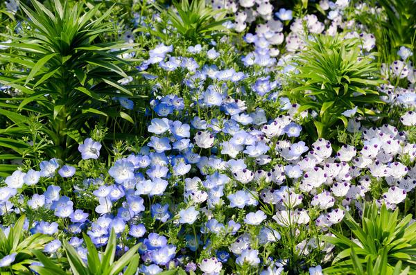 Немофила — очаровательное украшение цветника