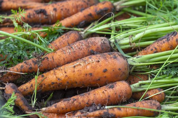 Как подготовить семена моркови к посеву. Дружные всходы гарантированы