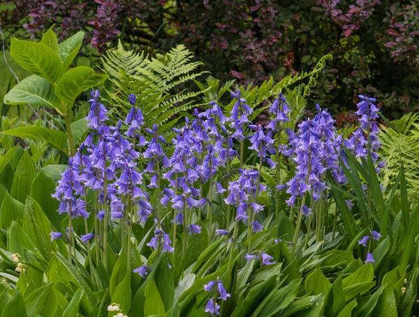 Гиацинтоидесы в весеннем саду