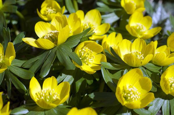 Эрантис — предвестник весны