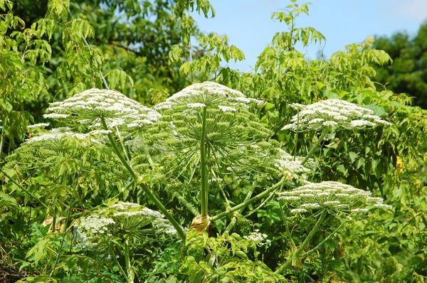 8 сорняков, которые сильно досаждают дачникам