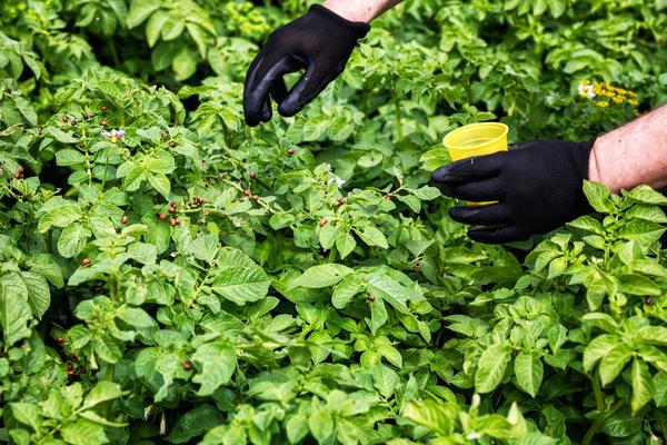 Колорадский жук останется ни с чем: системная защита картофеля на весь сезон