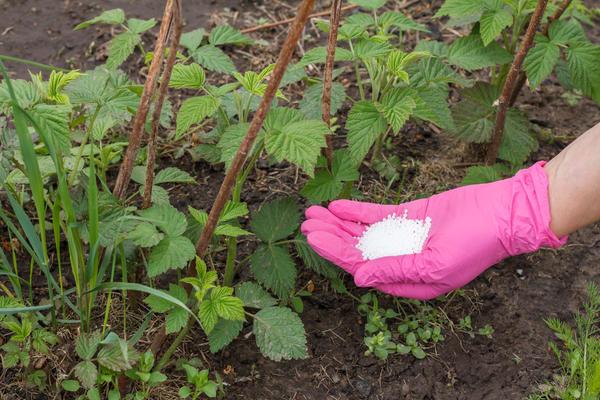 Чем подкармливать малину с весны до осени: полная система питания для суперурожая