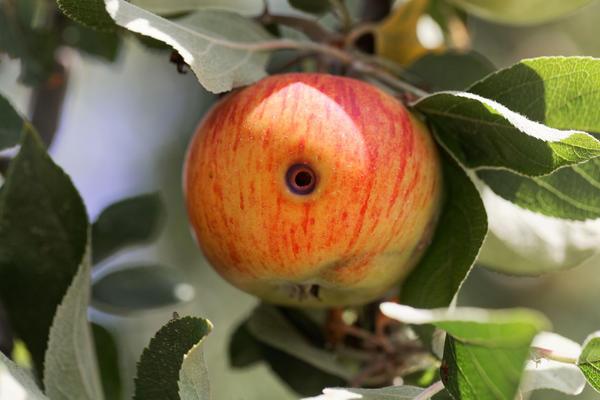 Почему яблоки червивые?