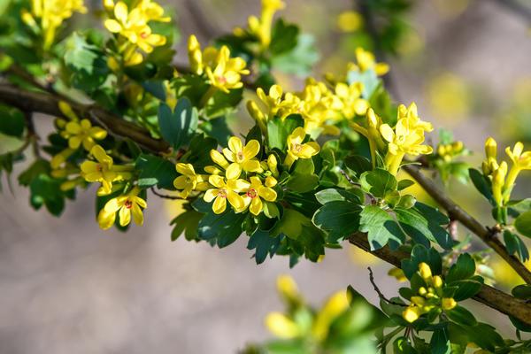Аромат цветков смородины золотистой знаком каждому