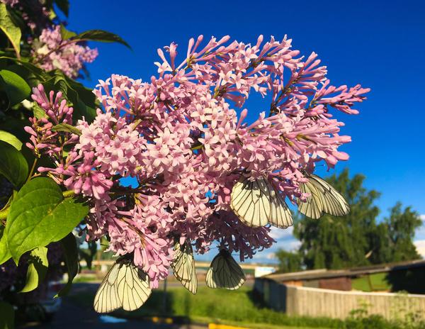 Сирень венгерская — редкая гостья в наших садах