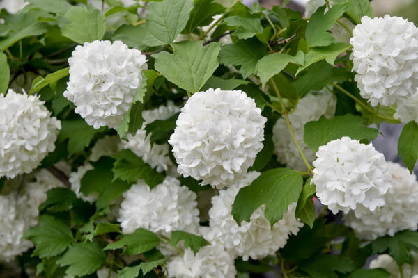 Стерильные соцветия Бульденеж похожи на снежки