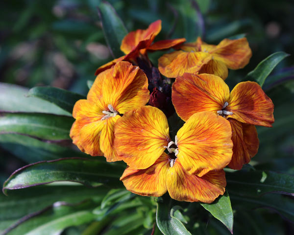 Цветки лакфиоли бывают не только желтыми