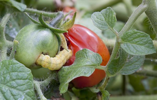 Очень обидно, когда вредители и болезни портят урожай