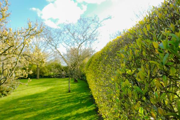 Живая изгородь из бирючины в саду