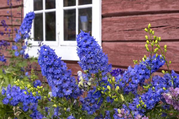 Дельфиниум - популярный садовый цветок