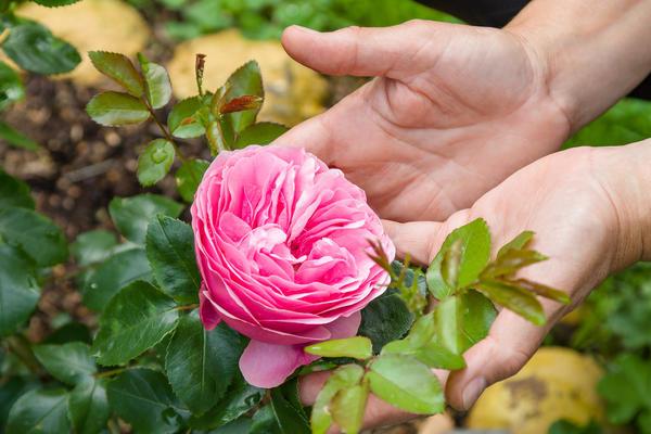 Как угодить розам?