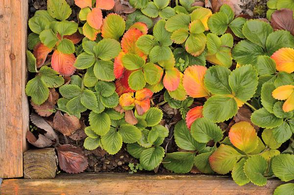 Какие агротехнические приемы помогут землянике садовой успешно перезимовать