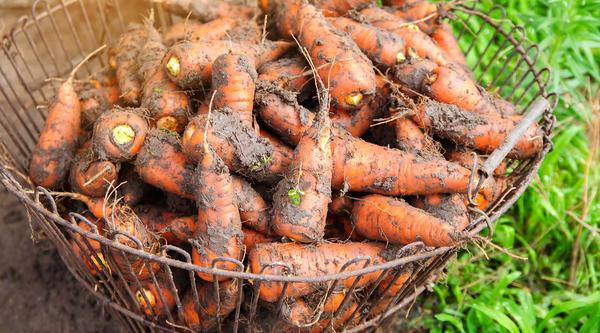Как сохранить урожай моркови?