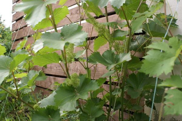 Шпалера для винограда. Щит.