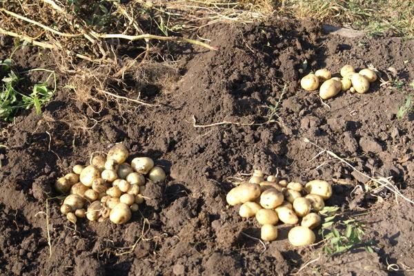 Выросший картофель