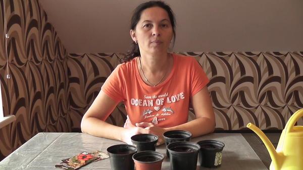 Начало эксперимента по выращиванию томатов на подоконнике.