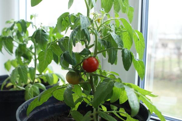 Поспел первый помидор