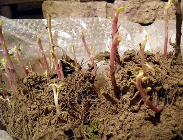 Зимующее корневище хризантемы. Фото сайта sazhaemsad.ru