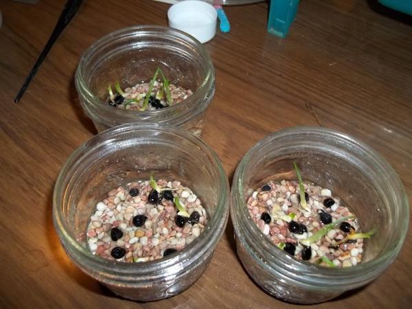 Пророщенные семена лилейника. Фото сайта http://www.plantswap.net