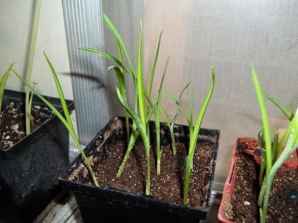 Рассада лилейников. Фото сайта http://www.plantswap.net