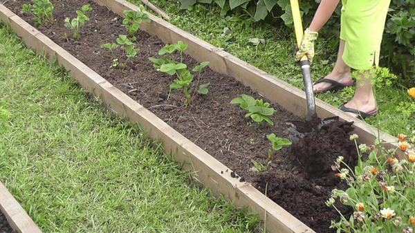 Удабривание садовой земляники