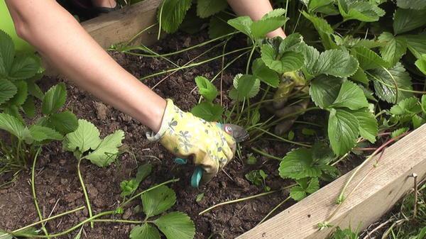Обрезка листьев садовой земляники