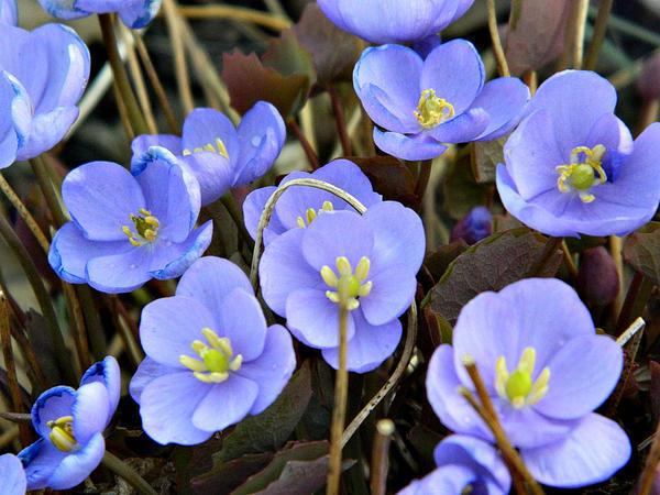 Цветы джефферсонии сомнительной