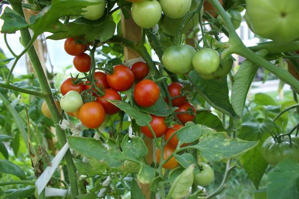 Выращивание томатов черри в открытом грунте