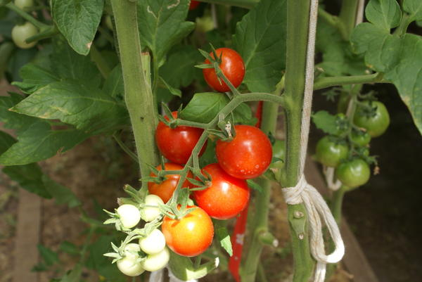 Ветка поспевающих томатов черри