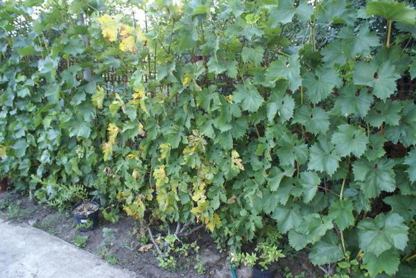 Желтеют листья на одном только сорте винограда (2 лозы таких)