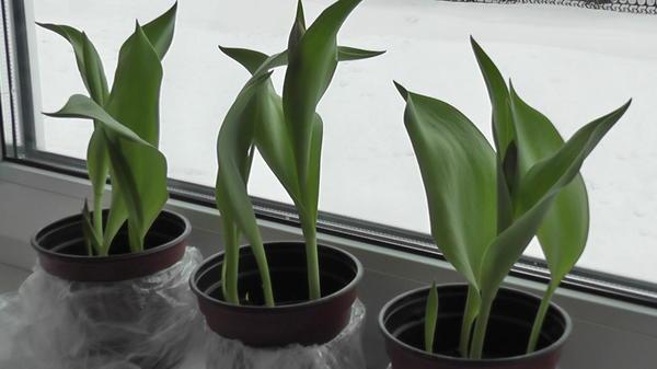 Тюльпаны через 2 недели после выставления на свет
