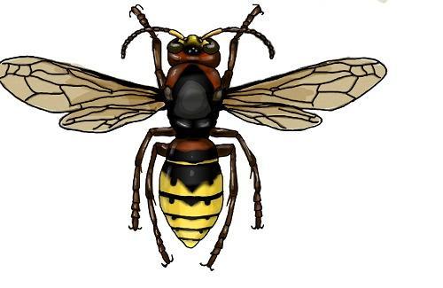 Шершень обыкновенный. Фото сайта vespidae2012.narod.ru