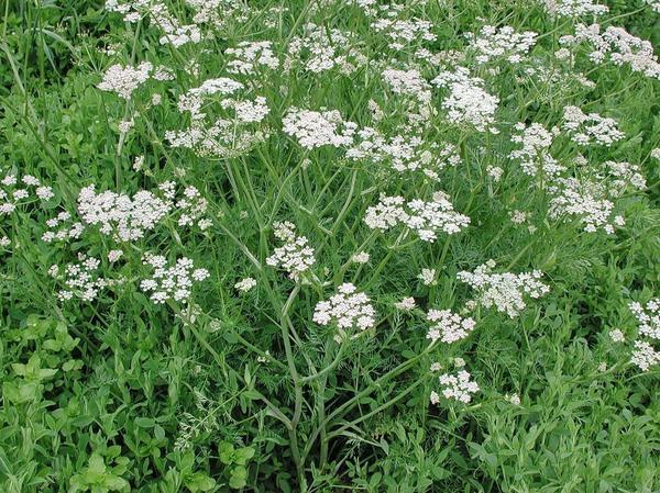 Анис в огороде. Фото сайта urologia.msk.ru
