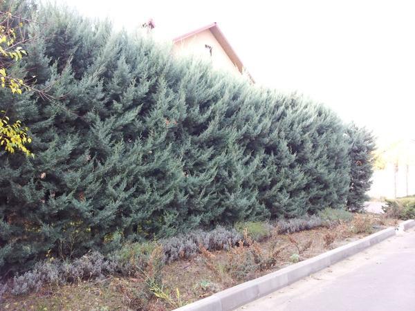 Живая изгородь из кипариса аризонского. Фото сайта acacia.od.ua