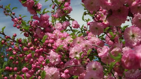 Цветёт вишня железистая