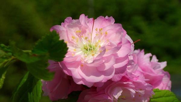 Цветок вишни железистой