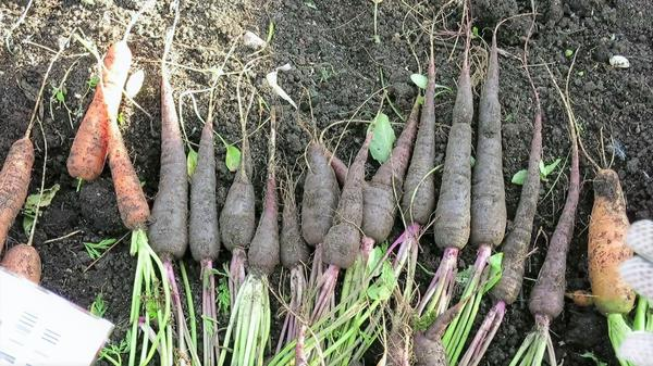 Урожай фиолетовой моркови