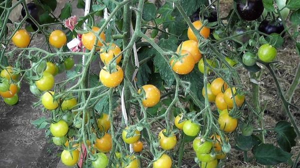 Сложная кисть Ильди с поспевающими плодами