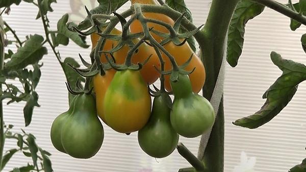 Поспевают помидоры сорта Медовая капля