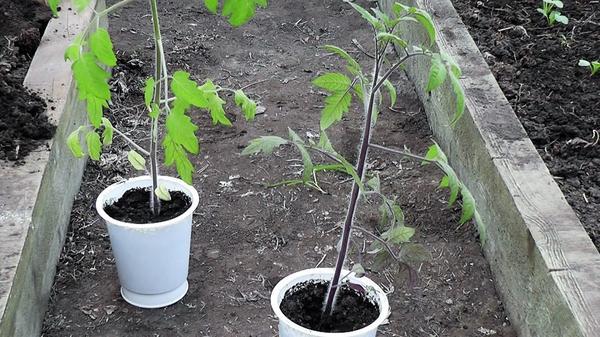 Справа - растение сорта Clackamas Blueberry