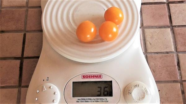 Вес одного помидора Ильди - 12 грамм